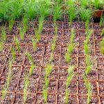 Plants Pépinière Corme-Royal