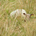 Mouton prairie