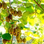 Branche kiwis