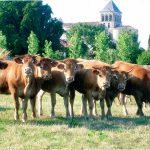 Ligne de Vaches
