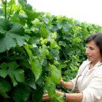 Véronique Laprée vignes